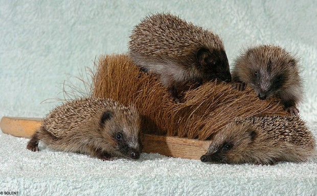 Hedgehogs find a new mother in a brush